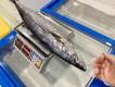 Cá Thu tươi nguyên con Phú Quý loại 1