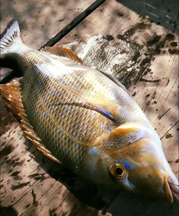 Cá Gáy đảo Phú Quý