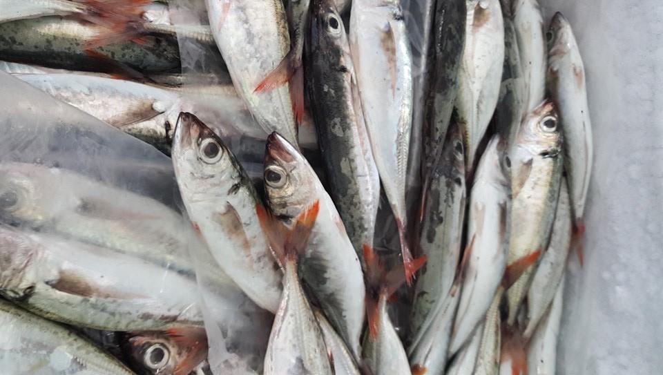 Cá Nục Đỏ Đuôi tươi Phú Quý